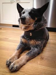 How To Get A Comfort Dog Thundershirt The Best Dog Anxiety Treatment