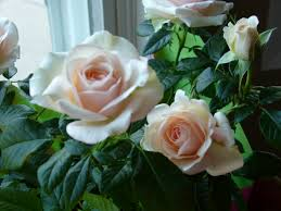 Pale pink roses my favorites Kiss Pinterest