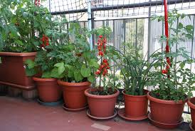 apartment plants tomato plants on the terrace of the apartment in the city stock