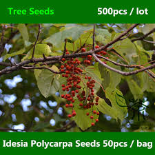 aliexpress buy widely cultivated idesia polycarpa seeds