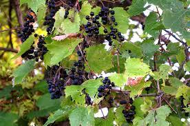 wild grape vine for sale online wholesale u2013 lowest prices guaranteed