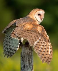 Barn Owl Sounds Barn Owl Wikipedia