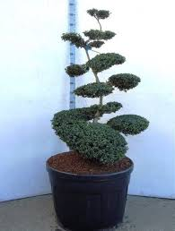 Topiary Cloud Trees - topiary luxuary specimens ilex crenata convexa bonsai 125 150 cm