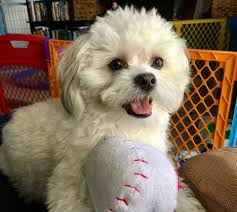 shichons haircut shichon or teddy bear puppies for sale home facebook