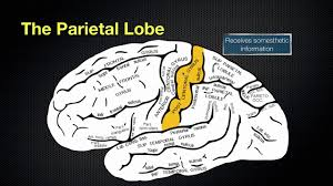 The Anatomy Of The Human Brain 066 The Anatomy And Function Of The Parietal Lobe Youtube