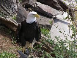bald eagle wildlife zoo reptile gardens