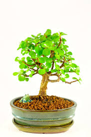 tree of luck prosperity miniature jade bonsai wonderful meaning