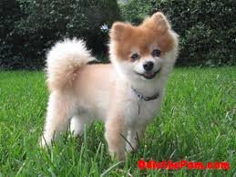 summer haircut pomeranian the adventures of odie the pom