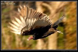 Seeking Vulture Turkey Vulture Dive