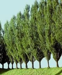 best 25 fast growing trees ideas on fast growing