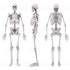 3d Human Anatomy 3d Human Skeleton On White Background Stock Photo 510478272 Istock