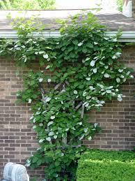 ornamental kiwi vine u0027arctic beauty u0027 garden housecalls
