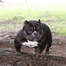 american pitbull terrier heat cycle queen califia is said to be the world u0027s smallest pitbull and is