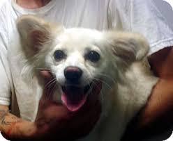 american eskimo dog yahoo mona adopted dog 8008 greencastle nc papillon american