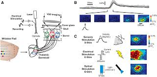 electrical and optical activation of mesoscale neural circuits