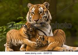 siberian tiger cubs together in grass stock photo royalty