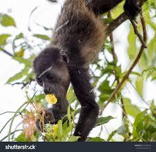 howler monkey hanging tree eating stock photo 375048973