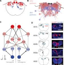 quantitative neuroanatomy for connectomics in drosophila elife