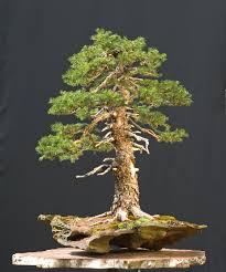 coniferous bonsai trees