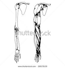 arm bones muscle vector illustration parts stock vector 260176109