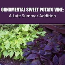 sweet potato vine and wave petunias this is what we did last year