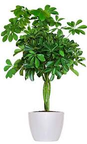 schefflera actinophylla is a common house plant that also goes by