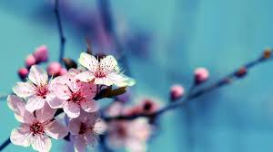 flowers cherry blossom wallpapers page 2 of 3 wallpaper wiki