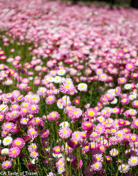 native plants in australia pink everlastings provide a sea of colour during wildflower season