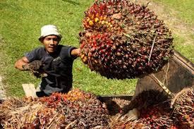 Minyak Kelapa Sawit Terkini harga kelapa sawit terbaru mei 2018 daftar harga sembako