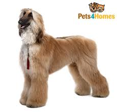 afghan hound top speed afghan hound dog breed information buying advice photos and