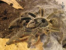 horned baboon tarantula ceratogyrus marshalli the tye dyed
