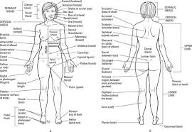 Anatomy And Physiology Of The Back The Anatomical Regions Of The Body Dummies