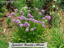 allium flowers summer beauty allium flowers