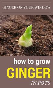 best 25 growing ginger ideas on pinterest grow supplies