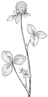lupine no flowers at the stem flower sketch images pinterest