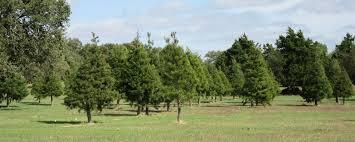 Brushy Creek Christmas Trees U2013 Cut Your Own Christmas Tree Or