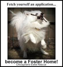 american eskimo dog adoption 39 best chicagoland eskie rescue images on pinterest american
