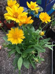 Identify Flowers - identification what is this plant with yellow flowers on long