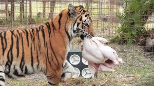 how a tiger prepares a turkey with keisha zeus