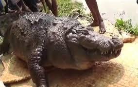 Interior Crocodile Alligator Dinosaurs With Osteoderms