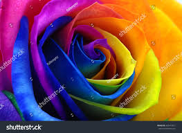 Multicolor Roses Fresh Beautiful Multicolor Roses Flower Floral Stock Photo
