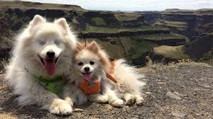 Blind Dog And His Guide Dog This Pomeranian Adorably Guides His Blind Best Friend Through Life