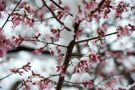 five myths about cherry blossoms the washington post