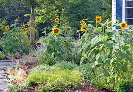 coffee for roses grow a sunflower forest this summer