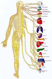 Foot Anatomy Nerves Human Anatomy Chart Pictures Of Human Anatomy Body