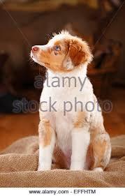 australian shepherd welpen 5 wochen miniature australian shepherd puppy red merle 13 weeks stock