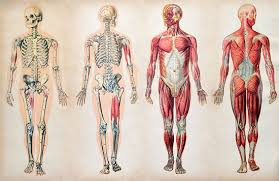 What Is Human Anatomy And Physiology 1 Human Body Description Anatomy U0026 Facts Britannica Com