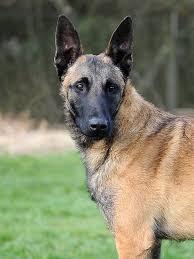 belgian shepherd temperament belgian shepherd dog for sale sheffield south yorkshire