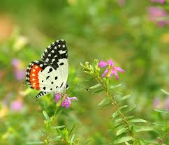 the most beautiful butterflies in the world oddiant