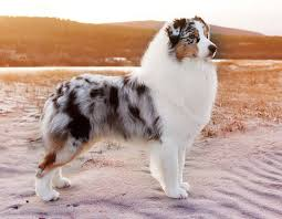 is an australian shepherd smart australian shepherd smart working dog blue merle australian